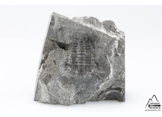 Trilobite Flexicalymene Senaria